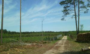 Pozostawione pojedyncze, suche drzewa na zrębie przed skrzyżowaniem z Omulewką